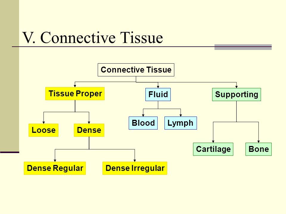 Connective Tissue Tissue Proper FluidSupporting BloodLymph CartilageBone Dense Regular DenseLoose Dense Irregular V. Connective Tissue