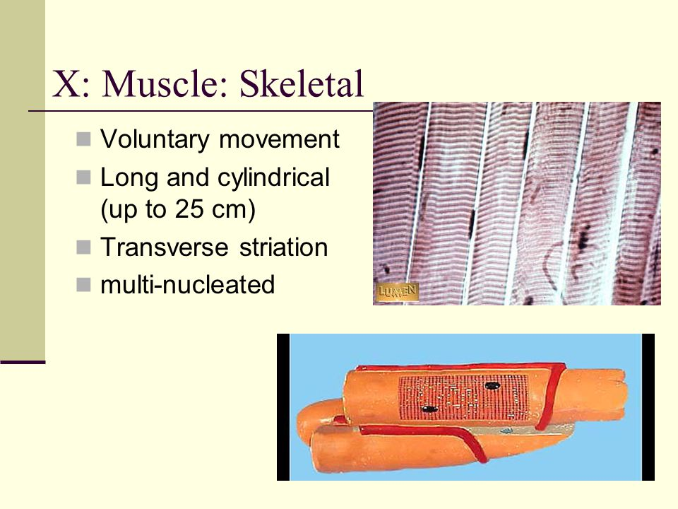 X: Muscle: Skeletal Voluntary movement Long and cylindrical (up to 25 cm) Transverse striation multi-nucleated