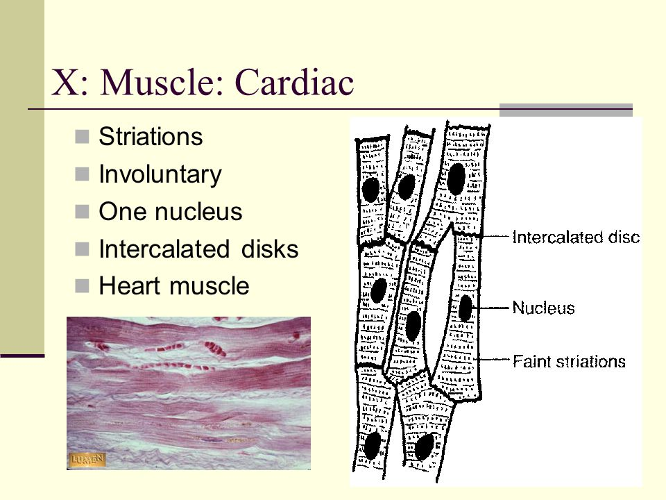 X: Muscle: Cardiac Striations Involuntary One nucleus Intercalated disks Heart muscle