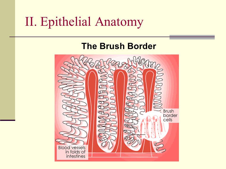 II. Epithelial Anatomy The Brush Border