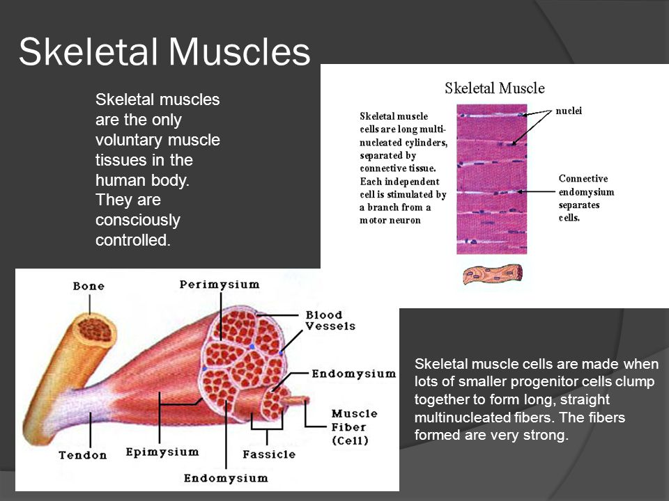Skeletal Muscles Skeletal muscle cells are made when lots of smaller progenitor cells clump together to form long, straight multinucleated fibers.