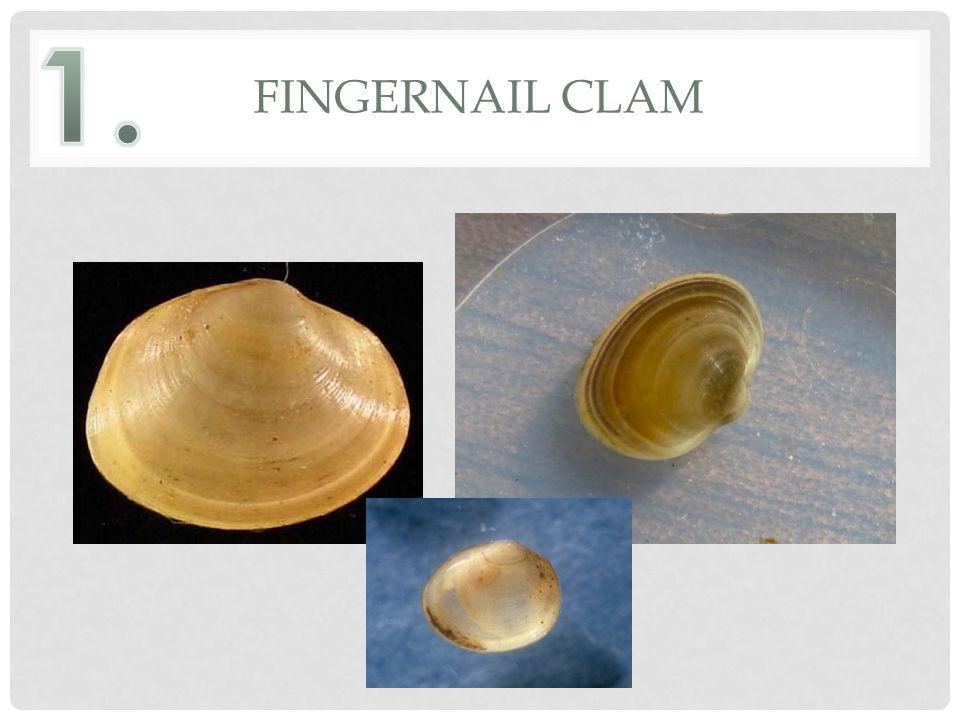 FINGERNAIL CLAM