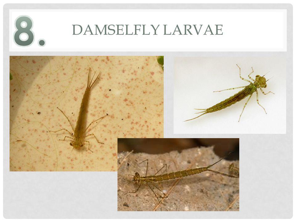 DAMSELFLY LARVAE