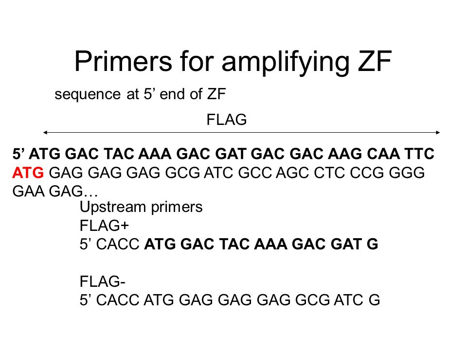 Primers for amplifying ZF sequence at 5' end of ZF 5' ATG GAC TAC AAA GAC GAT GAC GAC AAG CAA TTC ATG GAG GAG GAG GCG ATC GCC AGC CTC CCG GGG GAA GAG…