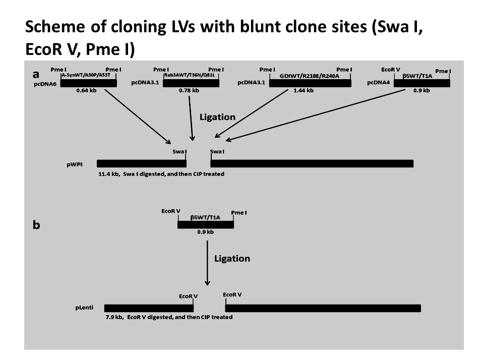 Scheme of cloning LVs with blunt clone sites (Swa I, EcoR V, Pme I)