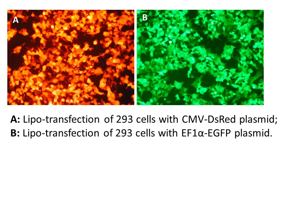 A B A: Lipo-transfection of 293 cells with CMV-DsRed plasmid; B: Lipo-transfection of 293 cells with EF1α-EGFP plasmid.