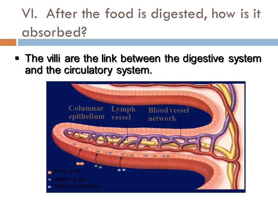 VI. After the food is digested, how is it absorbed.