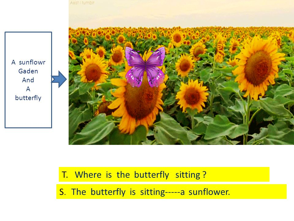 A sunflowr Gaden And A butterfly T. Where is the butterfly sitting .