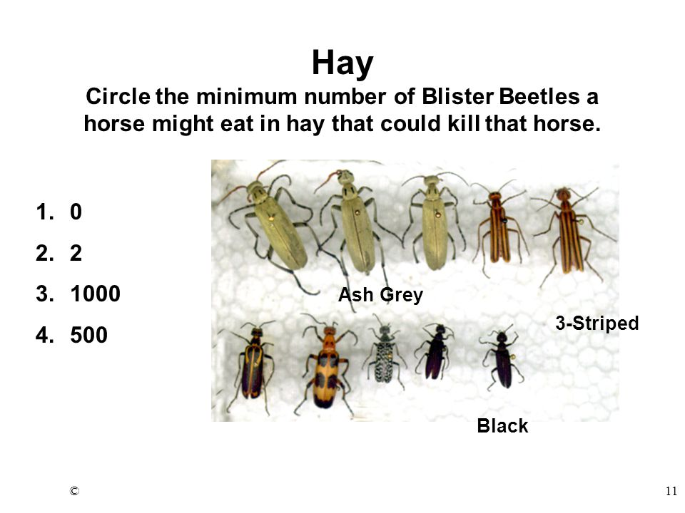 ©11 Ash Grey 3-Striped Black Hay Circle the minimum number of Blister Beetles a horse might eat in hay that could kill that horse.