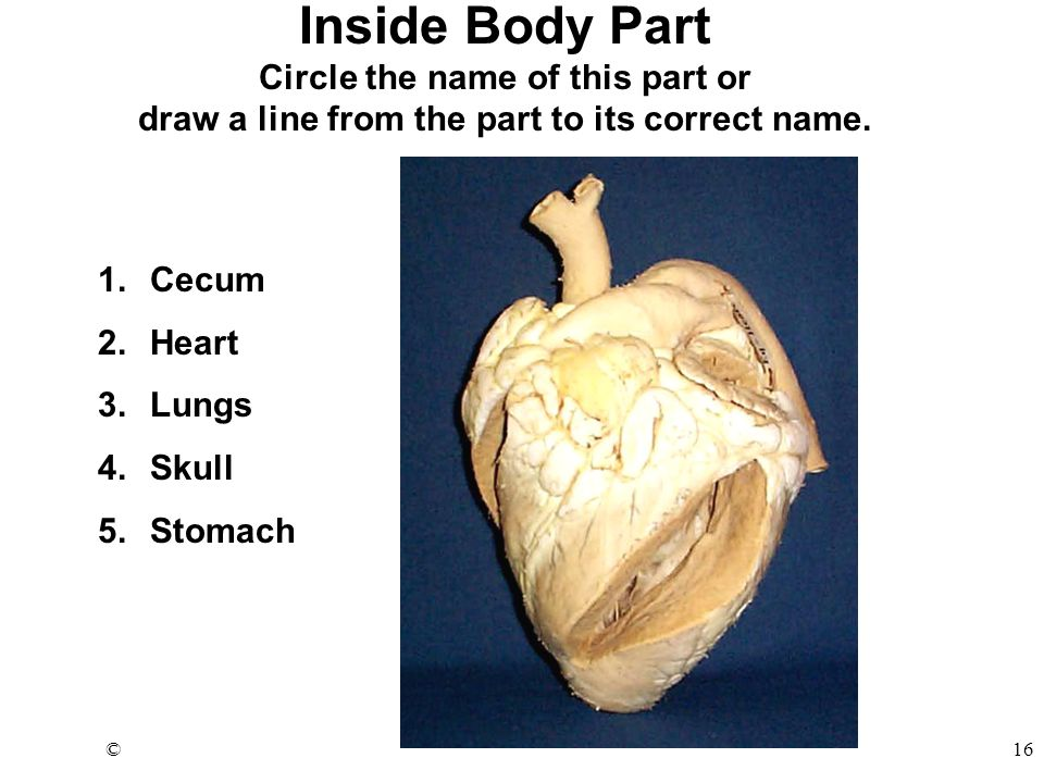 ©16 Inside Body Part Circle the name of this part or draw a line from the part to its correct name.