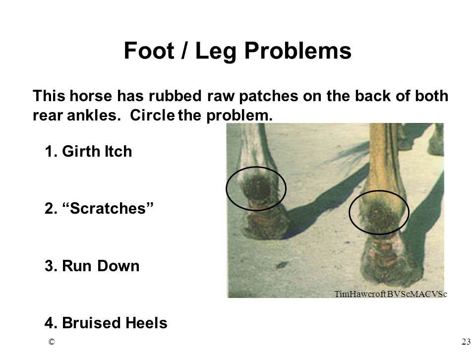 """©23 Foot / Leg Problems 1. Girth Itch 2. """"Scratches"""" 3. Run Down 4. Bruised Heels This horse has rubbed raw patches on the back of both rear ankles. C"""