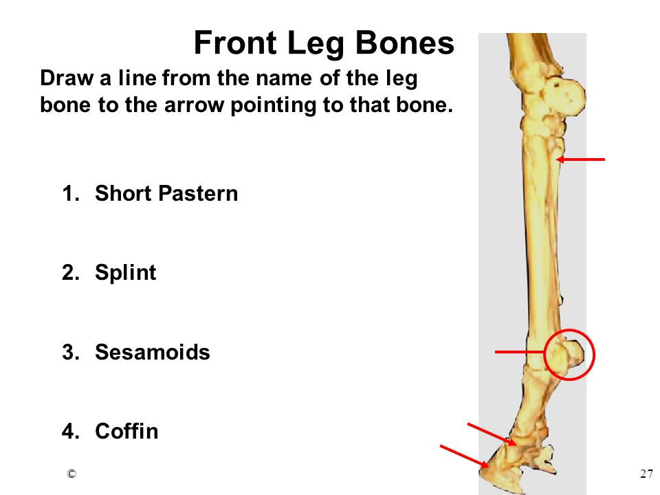 ©27 Front Leg Bones Draw a line from the name of the leg bone to the arrow pointing to that bone.