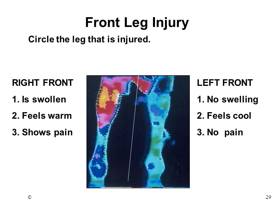 ©29 Front Leg Injury Circle the leg that is injured.