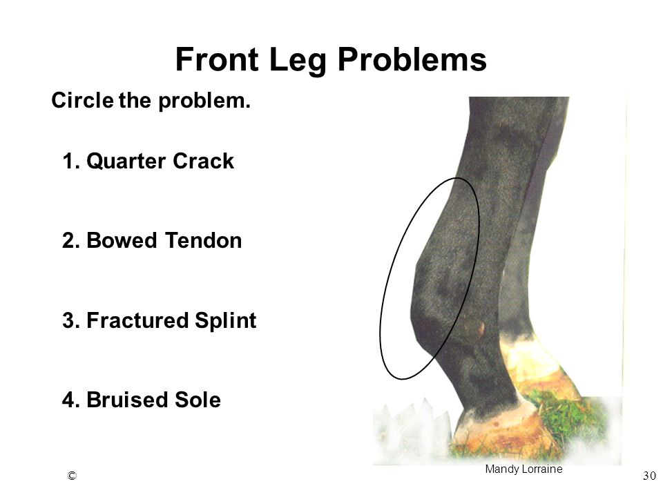 ©30 Front Leg Problems Circle the problem. 1. Quarter Crack 2. Bowed Tendon 3. Fractured Splint 4. Bruised Sole Mandy Lorraine