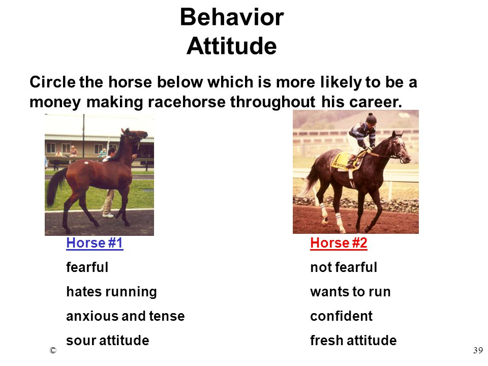 ©39 Horse #1Horse #2 fearfulnot fearful hates runningwants to run anxious and tenseconfident sour attitudefresh attitude Behavior Attitude Circle the horse below which is more likely to be a money making racehorse throughout his career.