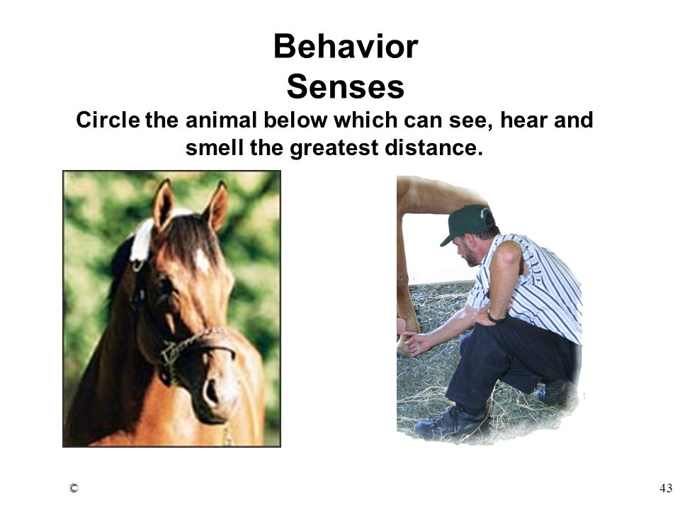 ©43 Circle the animal below which can see, hear and smell the greatest distance. Behavior Senses