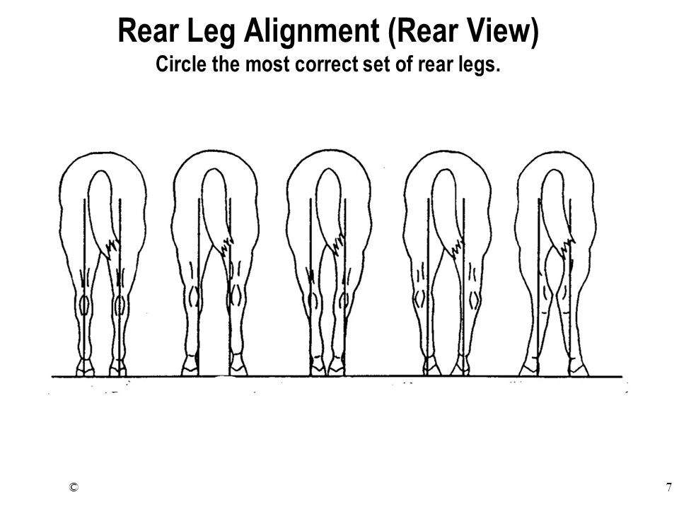 ©7 Rear Leg Alignment (Rear View) Circle the most correct set of rear legs.