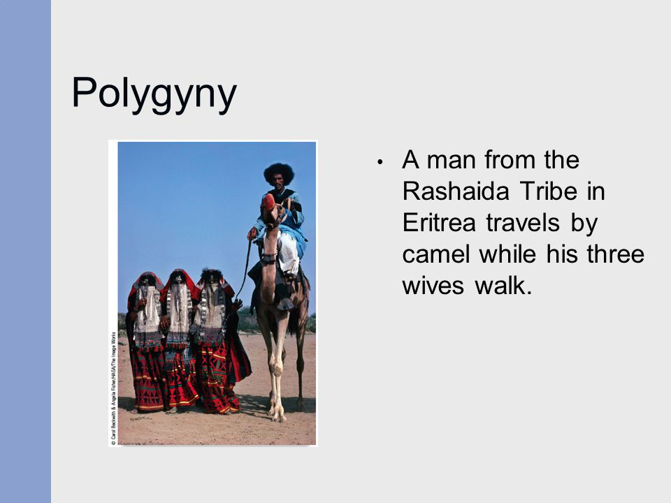 Polygyny A man from the Rashaida Tribe in Eritrea travels by camel while his three wives walk.