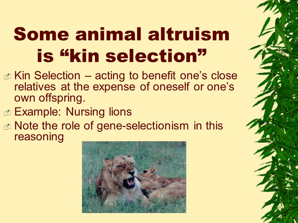 Some animal altruism is kin selection  Kin Selection – acting to benefit one's close relatives at the expense of oneself or one's own offspring.