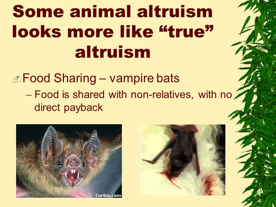 Some animal altruism looks more like true altruism  Food Sharing – vampire bats –Food is shared with non-relatives, with no direct payback