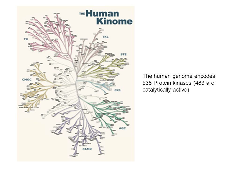 The human genome encodes 538 Protein kinases (483 are catalytically active)