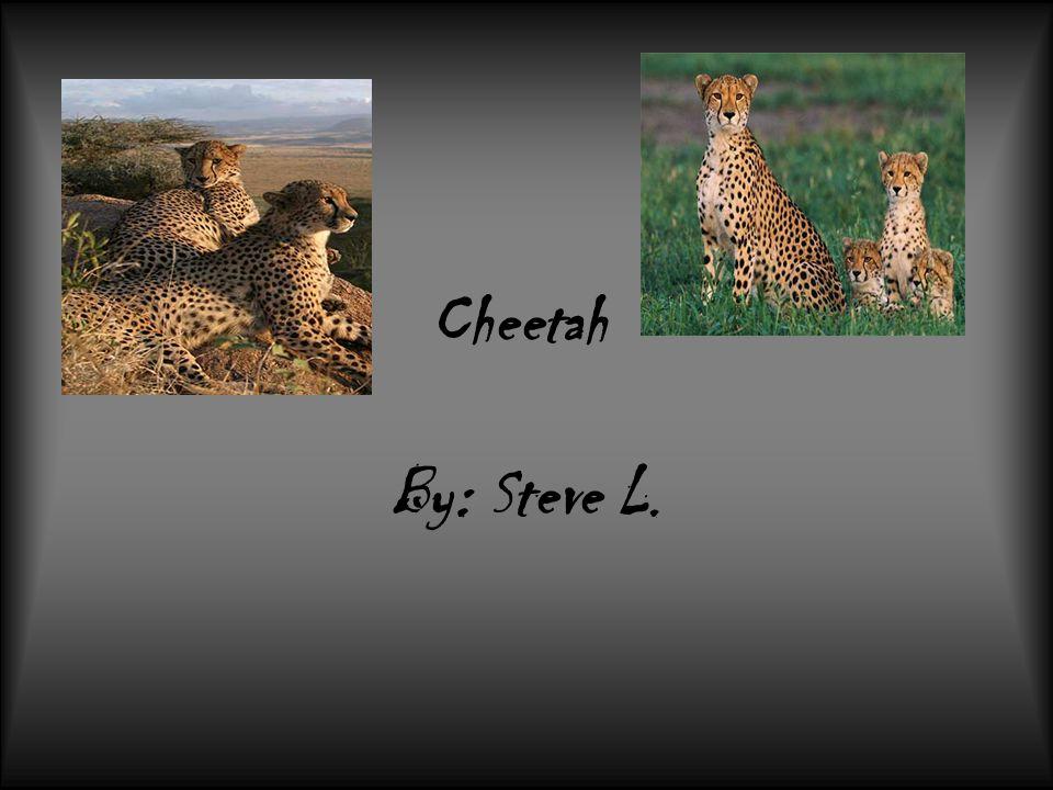 Cheetah By: Steve L.
