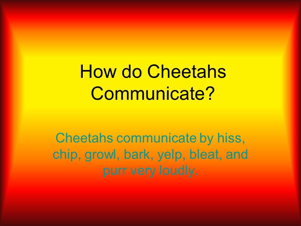 How do Cheetahs Communicate? Cheetahs communicate by hiss, chip, growl, bark, yelp, bleat, and purr very loudly.