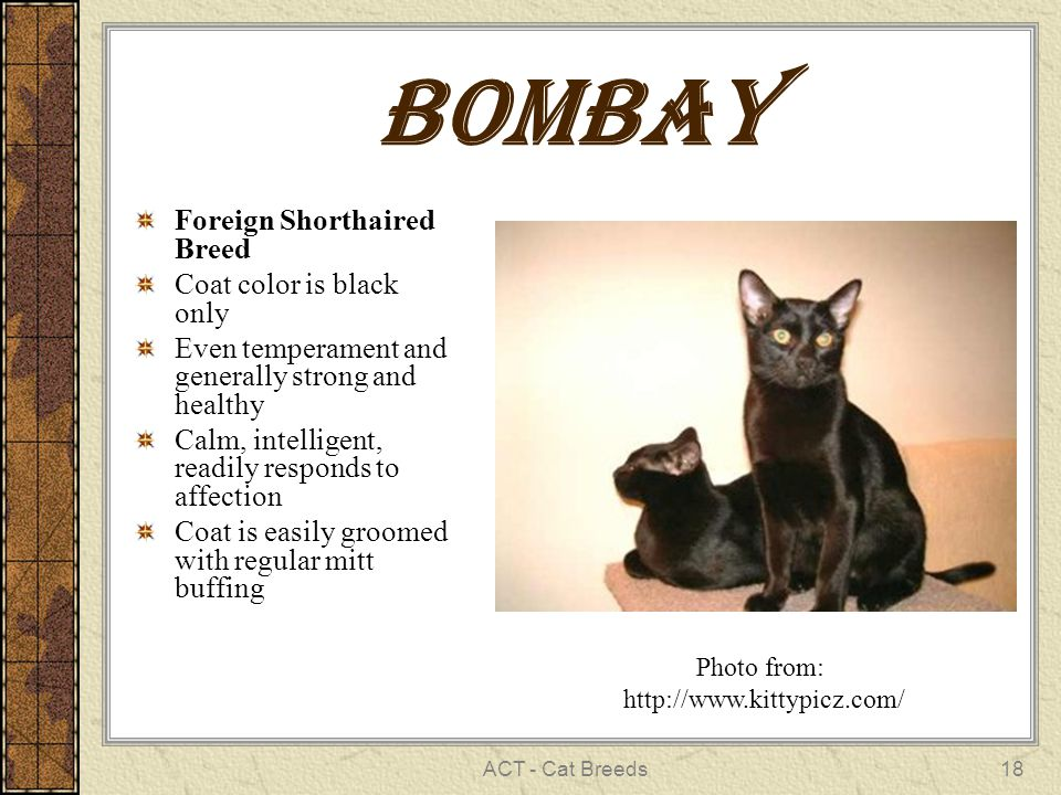 ACT - Cat Breeds18 Bombay Foreign Shorthaired Breed Coat color is black only Even temperament and generally strong and healthy Calm, intelligent, readily responds to affection Coat is easily groomed with regular mitt buffing Photo from: http://www.kittypicz.com/