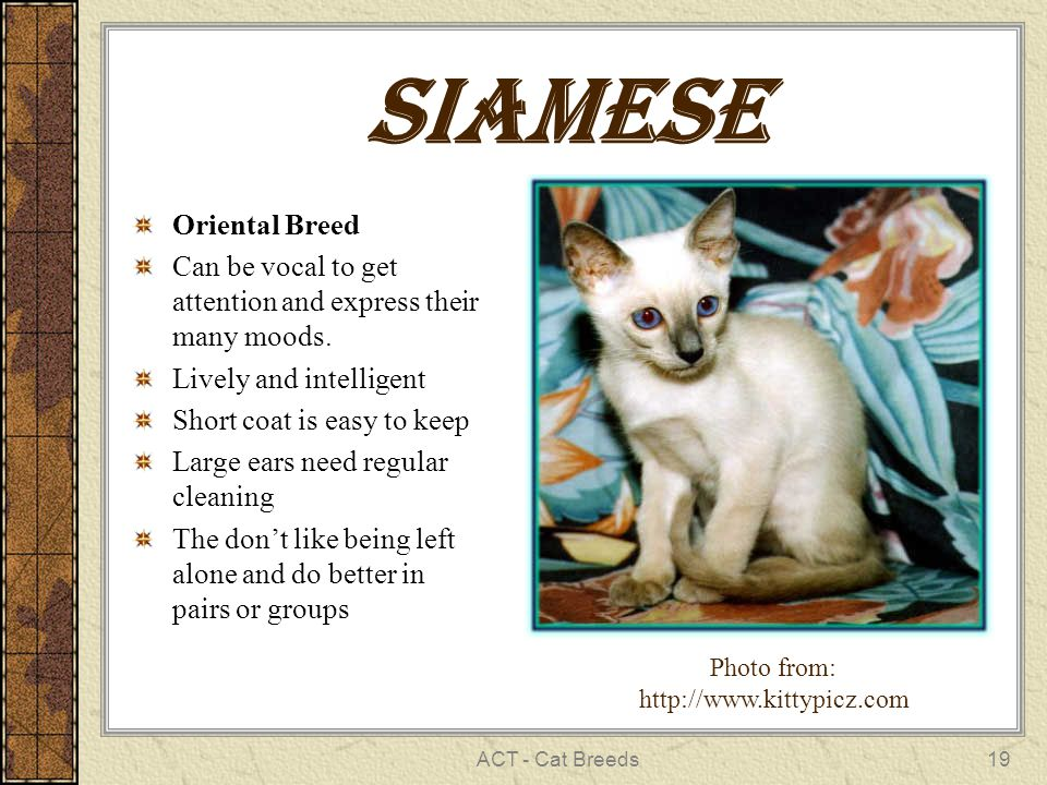 ACT - Cat Breeds19 Siamese Oriental Breed Can be vocal to get attention and express their many moods. Lively and intelligent Short coat is easy to kee