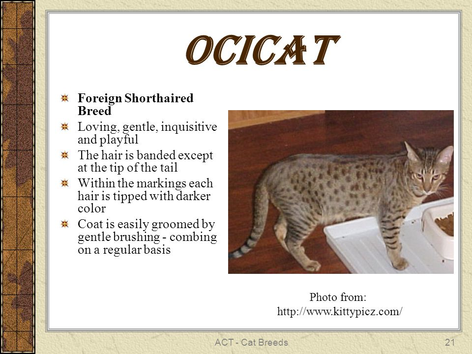 ACT - Cat Breeds21 ocicat Foreign Shorthaired Breed Loving, gentle, inquisitive and playful The hair is banded except at the tip of the tail Within the markings each hair is tipped with darker color Coat is easily groomed by gentle brushing - combing on a regular basis Photo from: http://www.kittypicz.com/