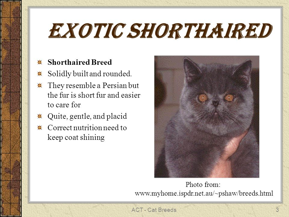 ACT - Cat Breeds3 Exotic shorthaired Shorthaired Breed Solidly built and rounded.