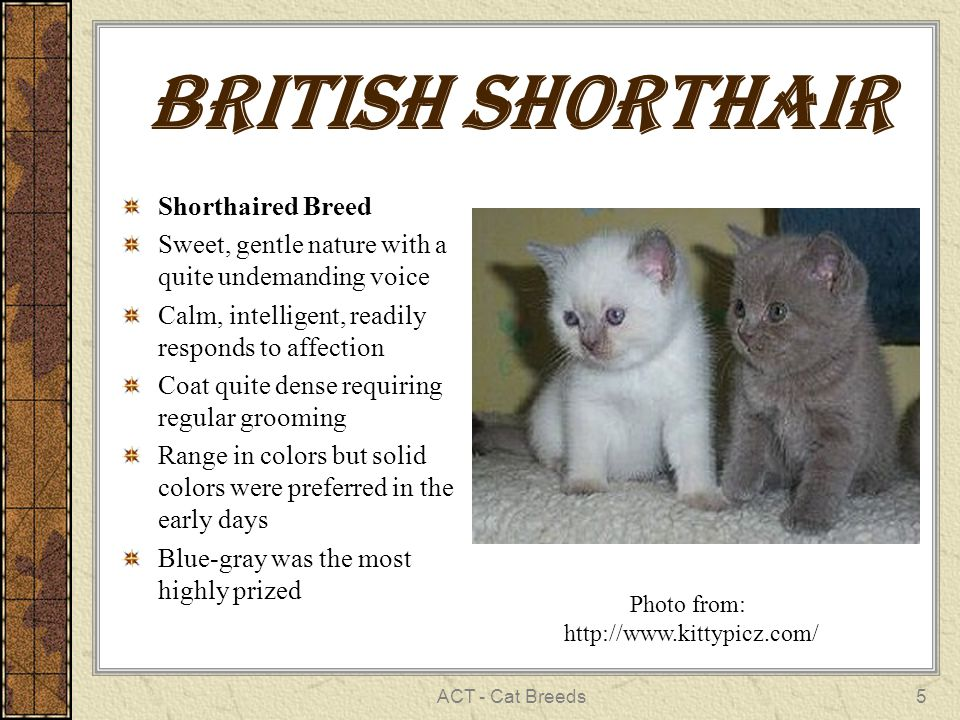 ACT - Cat Breeds5 British Shorthair Shorthaired Breed Sweet, gentle nature with a quite undemanding voice Calm, intelligent, readily responds to affection Coat quite dense requiring regular grooming Range in colors but solid colors were preferred in the early days Blue-gray was the most highly prized Photo from: http://www.kittypicz.com/