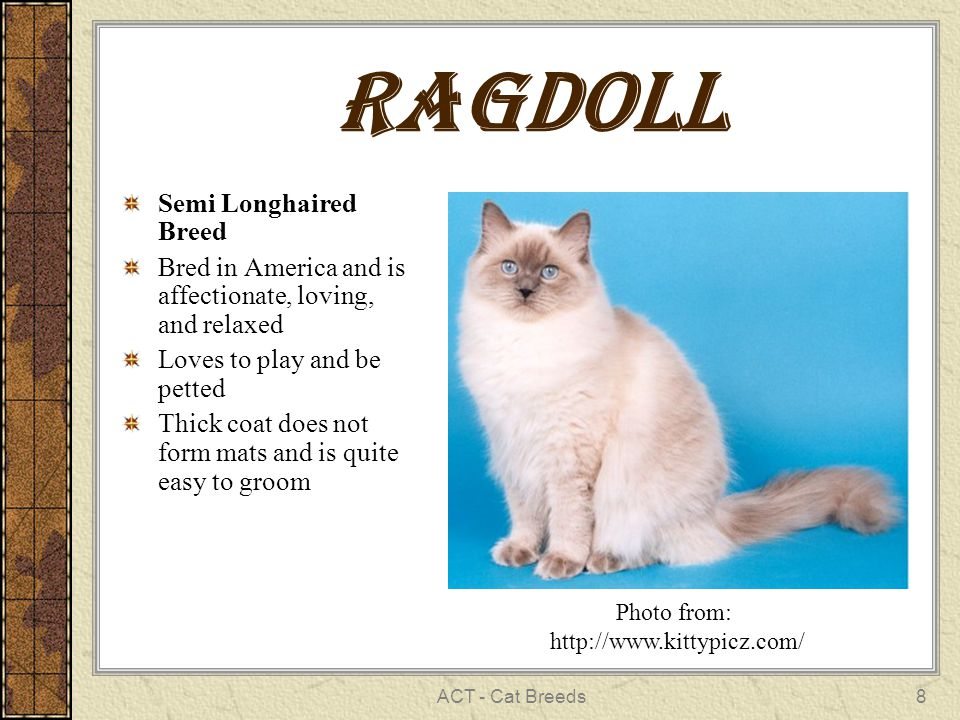 ACT - Cat Breeds8 rAgdoll Semi Longhaired Breed Bred in America and is affectionate, loving, and relaxed Loves to play and be petted Thick coat does not form mats and is quite easy to groom Photo from: http://www.kittypicz.com/