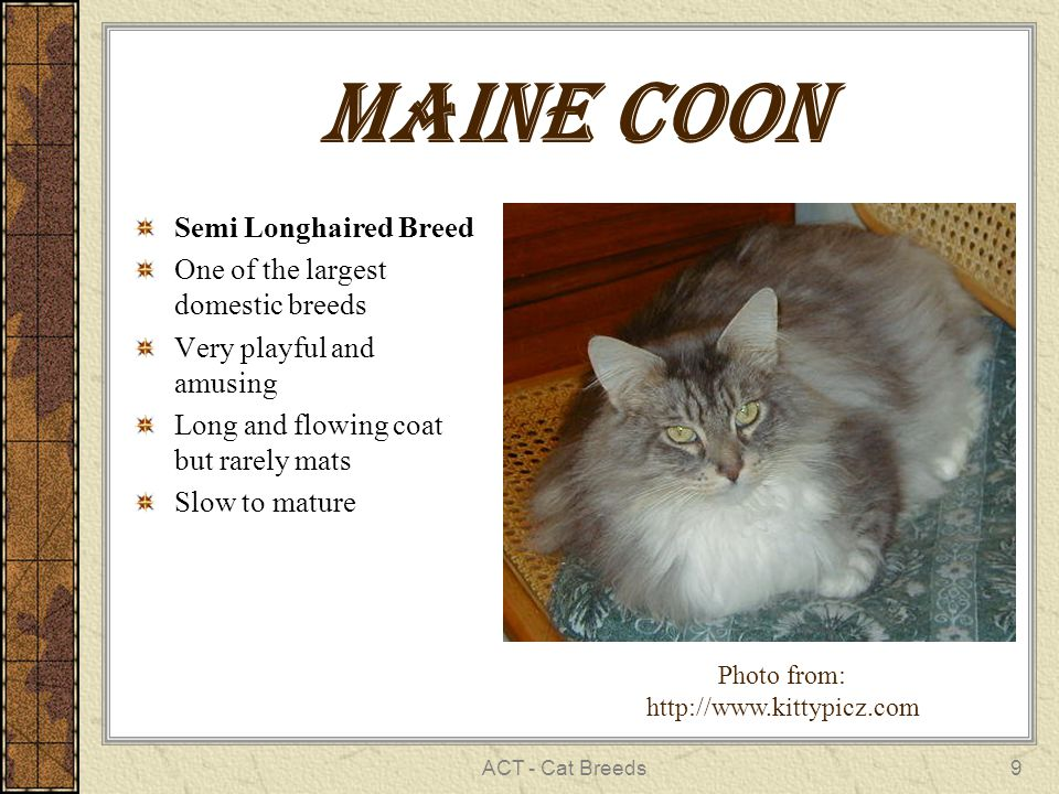 ACT - Cat Breeds9 Maine Coon Semi Longhaired Breed One of the largest domestic breeds Very playful and amusing Long and flowing coat but rarely mats Slow to mature Photo from: http://www.kittypicz.com