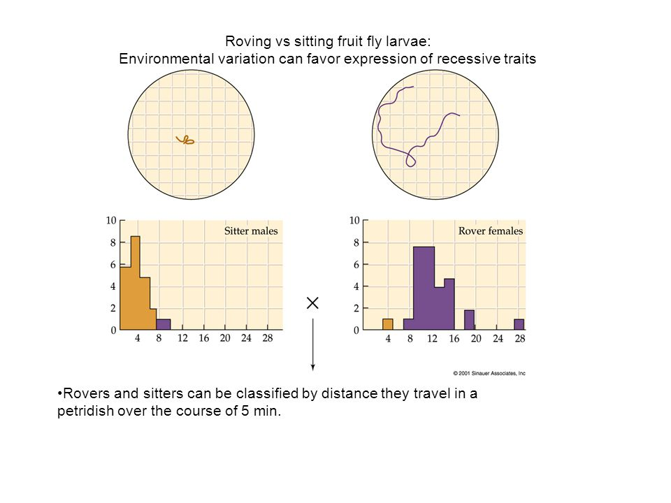 Roving vs sitting fruit fly larvae: Environmental variation can favor expression of recessive traits Rovers and sitters can be classified by distance they travel in a petridish over the course of 5 min.