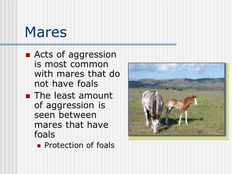 Mares Acts of aggression is most common with mares that do not have foals The least amount of aggression is seen between mares that have foals Protection of foals