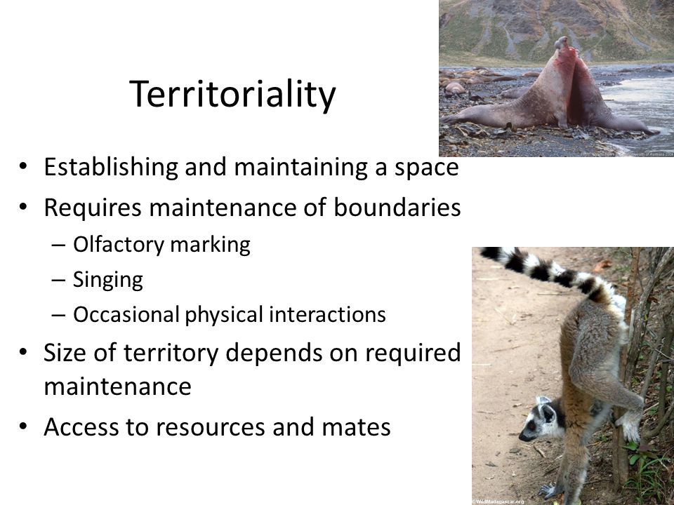 Territoriality Establishing and maintaining a space Requires maintenance of boundaries – Olfactory marking – Singing – Occasional physical interactions Size of territory depends on required maintenance Access to resources and mates