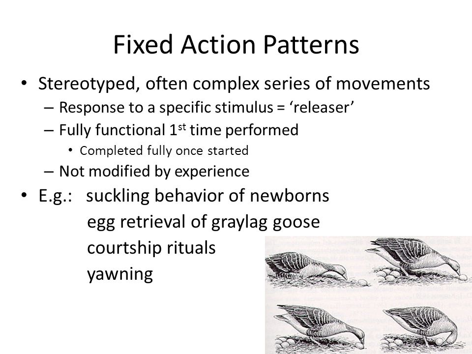 Fixed Action Patterns Stereotyped, often complex series of movements – Response to a specific stimulus = 'releaser' – Fully functional 1 st time performed Completed fully once started – Not modified by experience E.g.: suckling behavior of newborns egg retrieval of graylag goose courtship rituals yawning