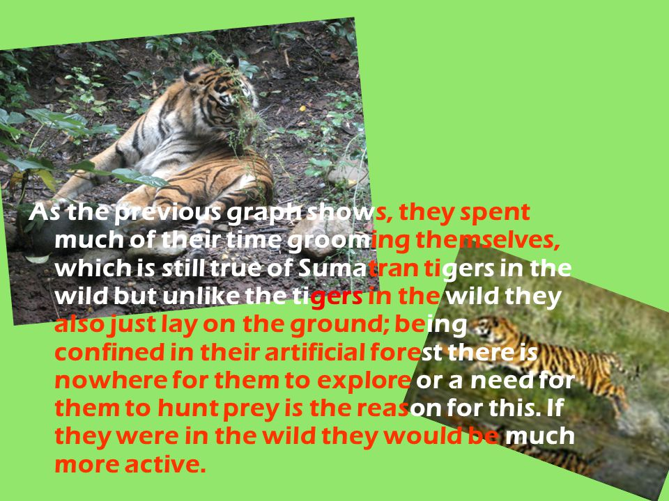 As the previous graph shows, they spent much of their time grooming themselves, which is still true of Sumatran tigers in the wild but unlike the tige