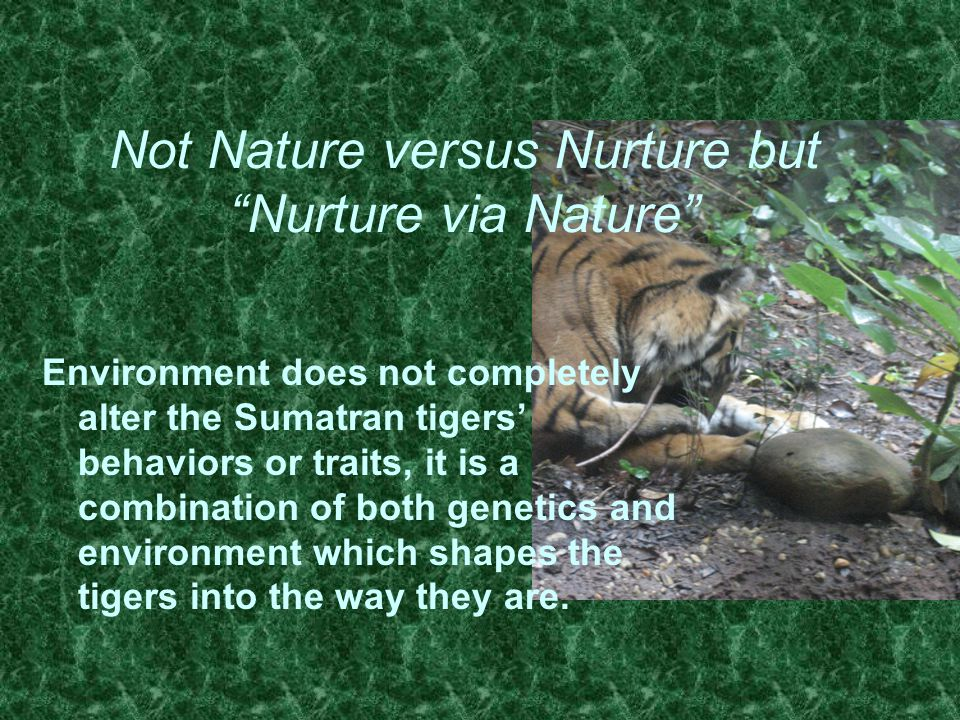 Not Nature versus Nurture but Nurture via Nature Environment does not completely alter the Sumatran tigers' behaviors or traits, it is a combination of both genetics and environment which shapes the tigers into the way they are.