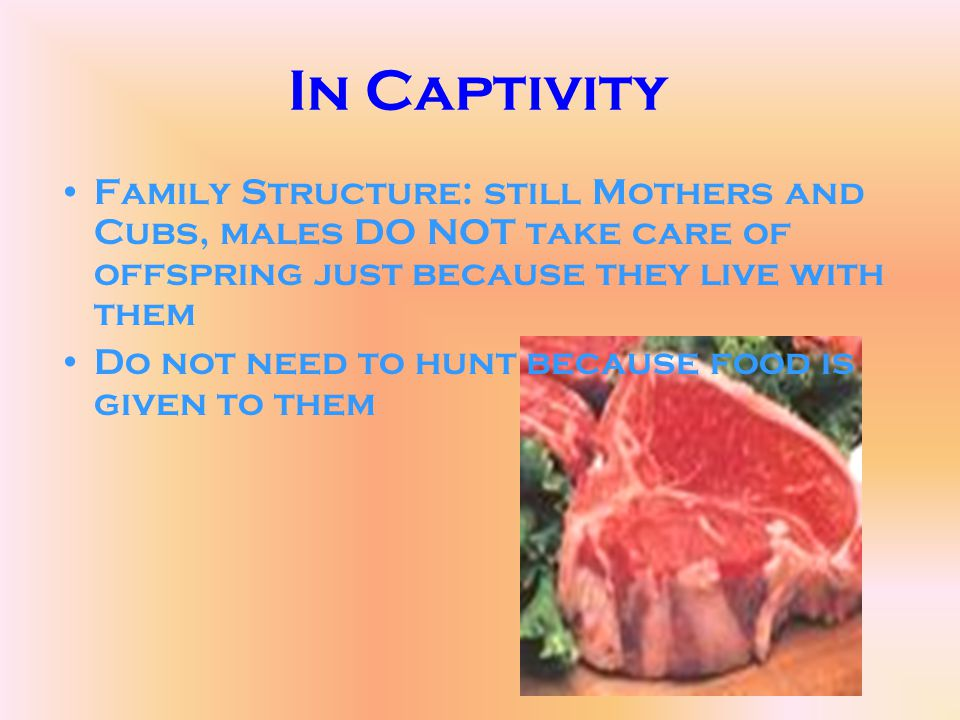 In Captivity Family Structure: still Mothers and Cubs, males DO NOT take care of offspring just because they live with them Do not need to hunt becaus