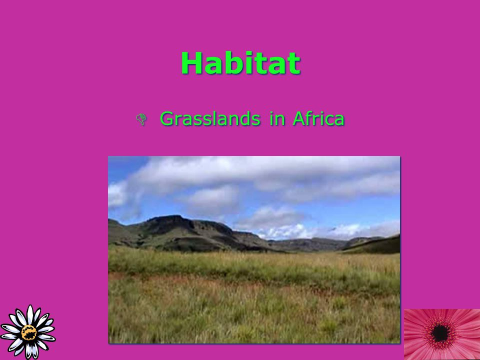 Habitat D Grasslands in Africa