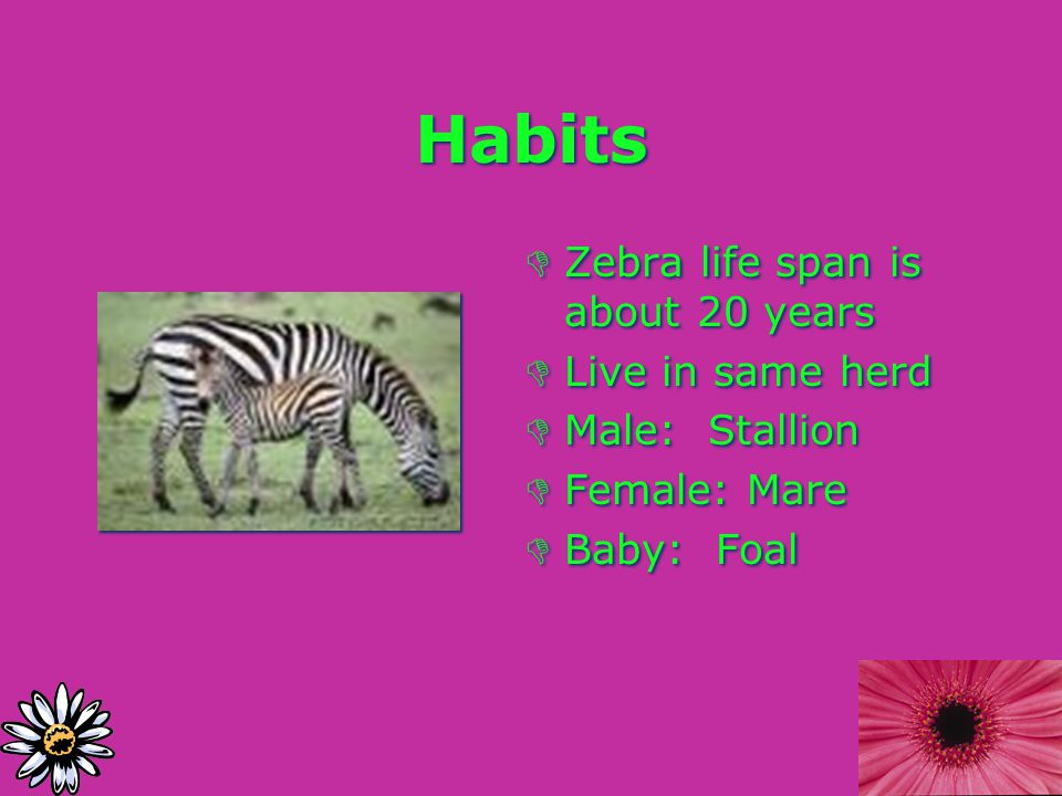 Habits DZebra life span is about 20 years DLive in same herd DMale: Stallion DFemale: Mare DBaby: Foal DZebra life span is about 20 years DLive in same herd DMale: Stallion DFemale: Mare DBaby: Foal