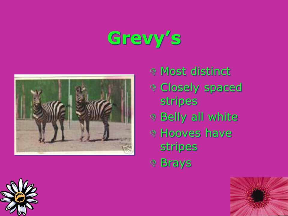 Grevy's DMost distinct DClosely spaced stripes DBelly all white DHooves have stripes DBrays DMost distinct DClosely spaced stripes DBelly all white DHooves have stripes DBrays