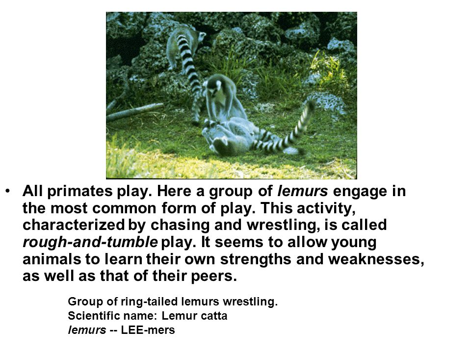 All primates play. Here a group of lemurs engage in the most common form of play. This activity, characterized by chasing and wrestling, is called rou