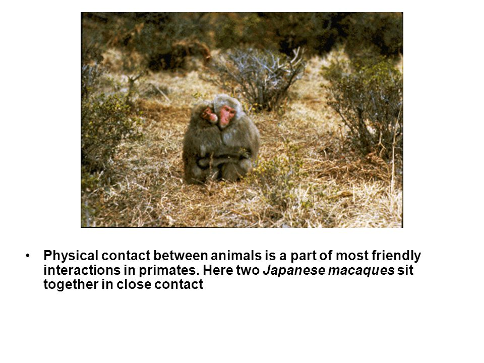 Physical contact between animals is a part of most friendly interactions in primates. Here two Japanese macaques sit together in close contact