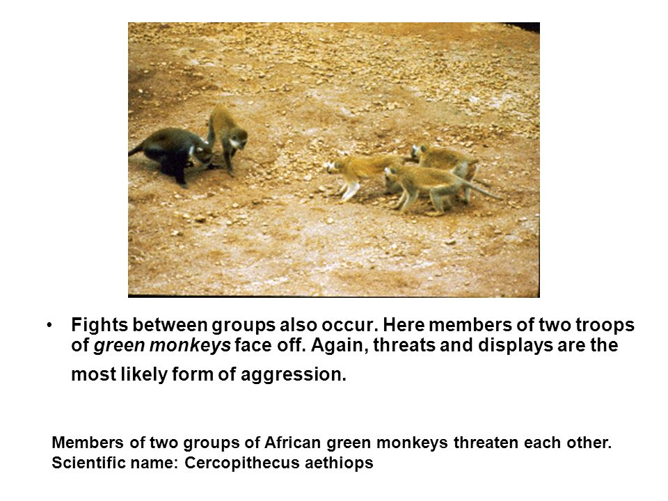 Fights between groups also occur. Here members of two troops of green monkeys face off. Again, threats and displays are the most likely form of aggres