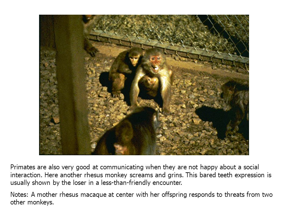Friendly intentions are also being communicated here by the rhesus monkey looking towards the camera. She is lip-smacking, an active facial expression