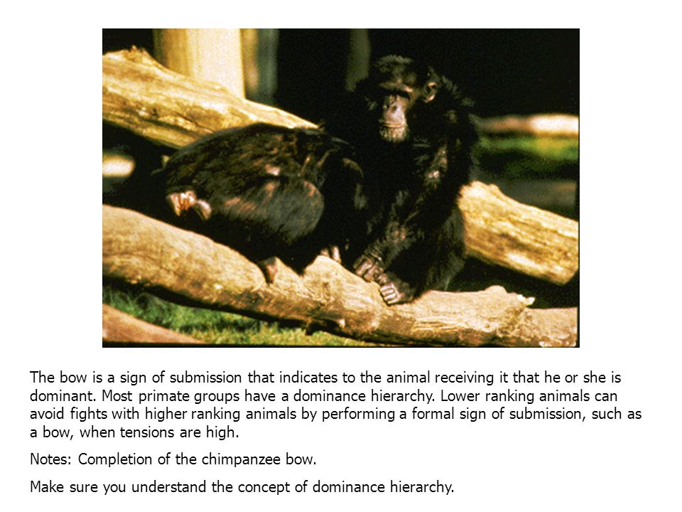 Primates pay close attention to the body language of other members of their group. Here a chimpanzee begins an action that is also performed by humans