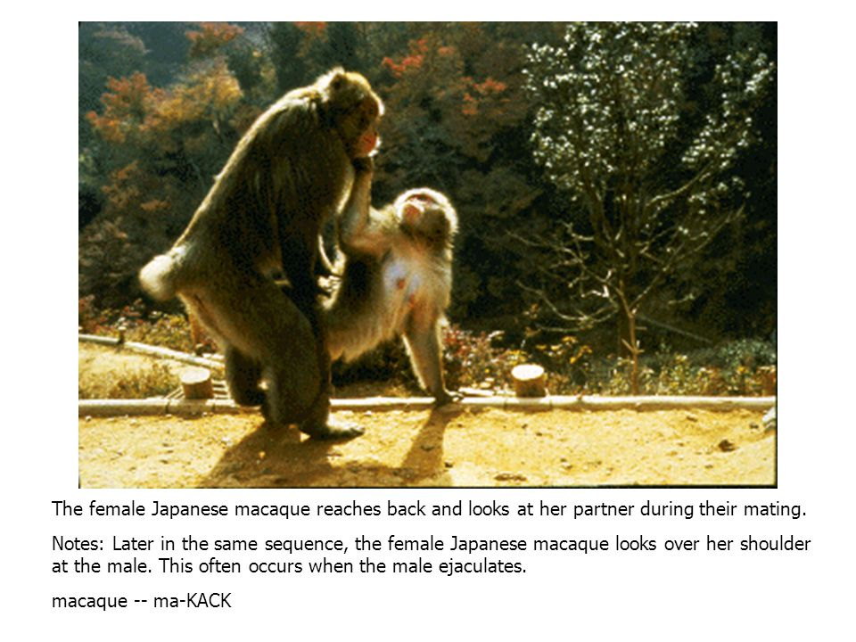 A typical copulation or mating in most primates involves the male mounting the female from the rear. Notes: A male Japanese macaque mounts a female.